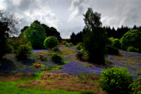 Bluebells on the Braes 2