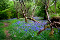 Woods and bluebells