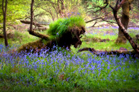 Lion in the bluebells